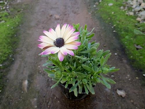 オステオスペルマム 新品種 Osteospermum 育種 生産 販売 松原園芸 ラズベリーパフェ