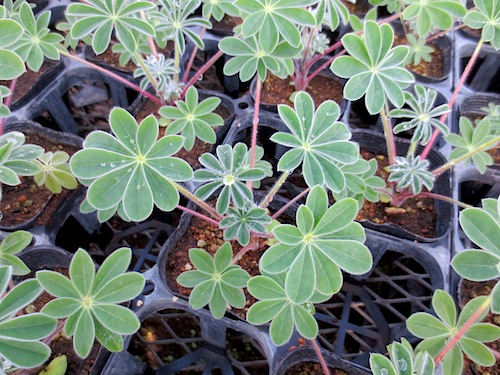 傘咲きルピナス(Lupinus hirsutus)傘葉ルピナス 生産 販売 松原園芸