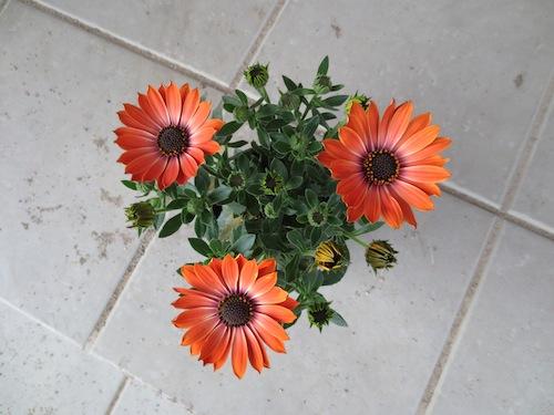 オステオスペルマム テラコッタオレンジ Osteospermum 育種 生産 販売 松原園芸