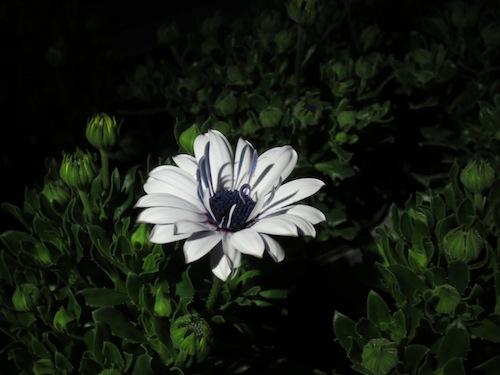 オステオスペルマム 開閉運動 Osteospermum 育種 生産 販売 松原園芸