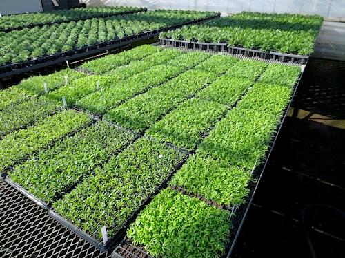 マーガレット 挿し芽 プラグ苗 ぽぽたん 育種 生産 販売 松原園芸 Argyranthemum frutescens