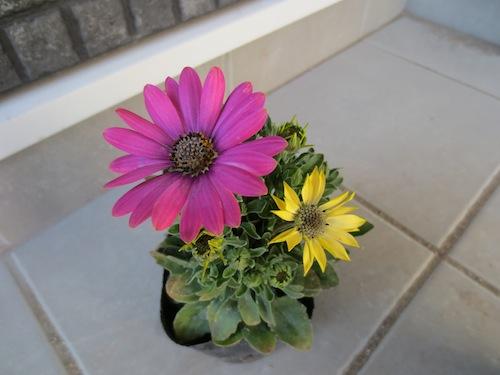オステオスペルマム 色が変化する Osteospermum 育種 生産 販売 松原園芸