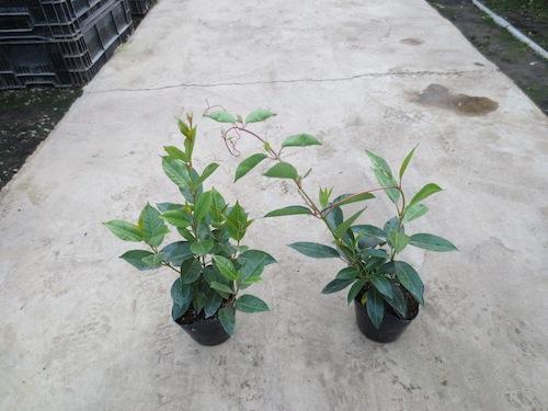 マンデビラ Mandevilla ディプラデニア (Dipladenia) 生産 育種 販売 松原園芸