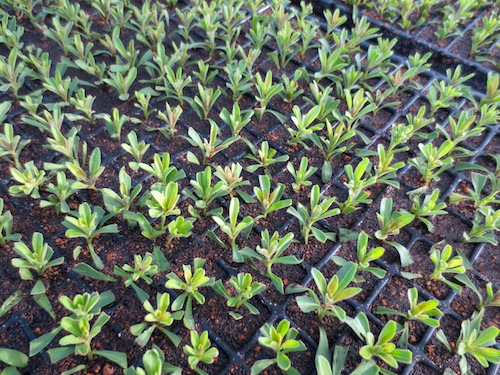 カリブラコア カリエルテ 挿し芽 Calibrachoa Calierte 育種 生産 販売 松原園芸 直売