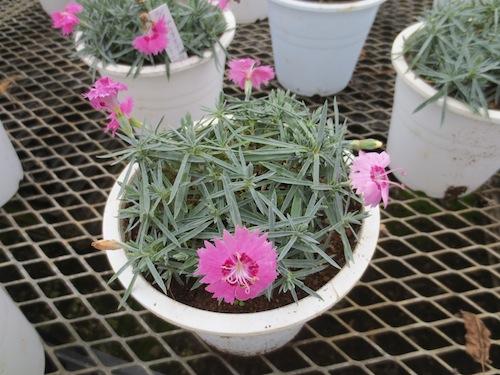 四季咲きナデシコ ダイアンサス Dianthus hybrids 種子