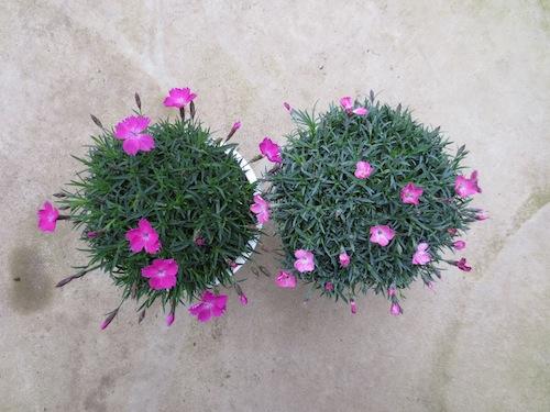 四季咲きナデシコ ダイアンサス Dianthus hybrids 新品種  育種 生産 販売 松原園芸