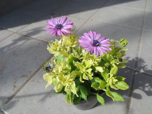 オステオスペルマム アルビノ Osteospermum オリジナル品種 育種 生産 販売 松原園芸
