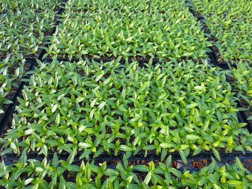 ニチニチソウ セル苗 Catharanthus roseus 生産 販売 松原園芸 直売