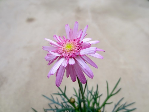 マーガレット セミダブルピンク 育種 生産 販売 松原園芸 Argyranthemum frutescens