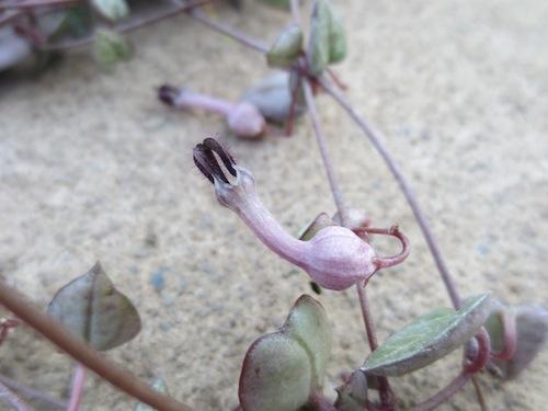 セロペギア ハートカズラ Ceropegia woodii 花 果実 種子