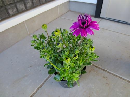オステオスペルマム セミダブルパープル Osteospermum オリジナル品種 育種 生産 販売 松原園芸