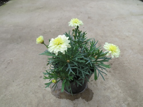 マーガレット 八重咲きレモン 育種 生産 販売 松原園芸 Argyranthemum frutescens