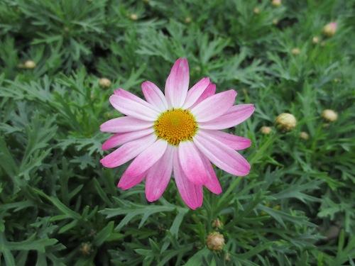 マーガレット ガーネットピンク  育種 生産 販売 松原園芸 Argyranthemum frutescens