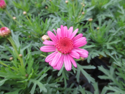 マーガレット ぽぽたん ピンク  育種 生産 販売 松原園芸オリジナル品種 新品種 Argyranthemum frutescens