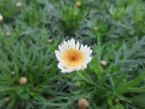 マーガレット ぽぽたん クリーム  育種 生産 販売 松原園芸オリジナル品種 新品種 Argyranthemum frutescens