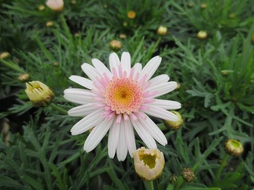 マーガレット ぽぽたん ピンクホワイト  育種 生産 販売 松原園芸オリジナル品種 新品種 Argyranthemum frutescens