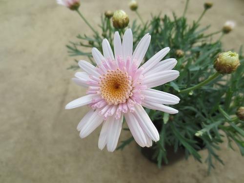 マーガレット ぽぽたん ピンクホワイト  枝変り育種 生産 販売 松原園芸オリジナル品種 新品種 Argyranthemum frutescens