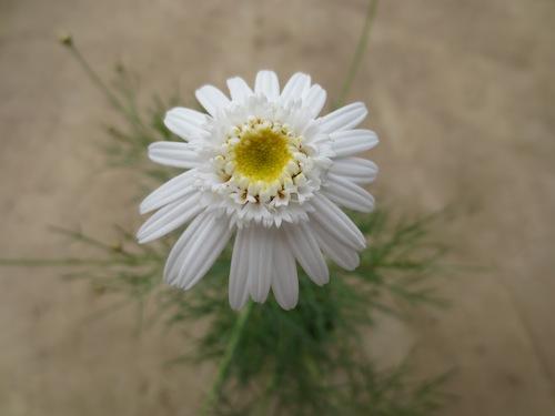 マーガレット ぽぽたん 糸葉 ホワイト  育種 生産 販売 松原園芸オリジナル品種 新品種 Argyranthemum frutescens