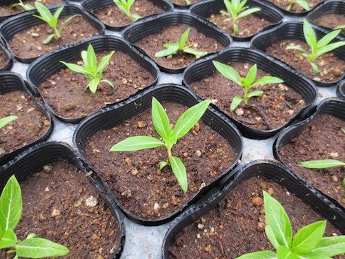 ニチニチソウ 鉢上げ Catharanthus roseus 生産 販売 松原園芸