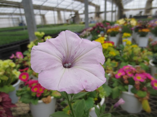 Petunia ペチュニア 育種  交配 生産 販売 松原園芸