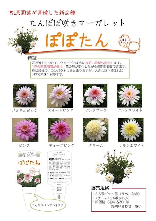 マーガレット ぽぽたん ホワイト  育種 生産 販売 松原園芸オリジナル品種 新品種 Argyranthemum frutescens