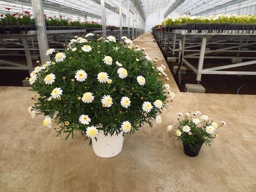 マーガレット ぽぽたん クリーム 8号鉢植え  育種 生産 販売 松原園芸オリジナル品種 新品種 Argyranthemum frutescens