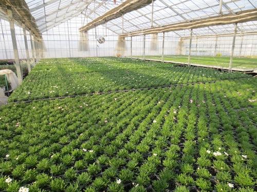 マーガレット ぽぽたん スペーシング  育種 生産 販売 松原園芸オリジナル品種 新品種 Argyranthemum frutescens