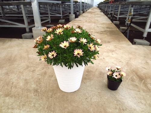 オステオスペルマム 7号鉢 パティエ ラズベリーパフェ Osteospermum オリジナル品種 育種 生産 販売 松原園芸
