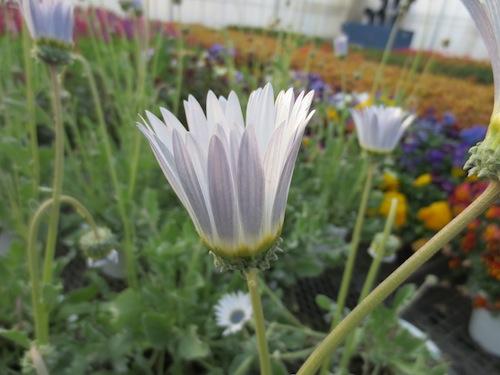 Arctotis grandis アークトチス グランディス ブルーアイ・ デージー 発芽 種子  生産 販売 松原園芸