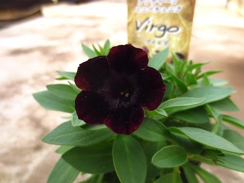 Petunia アンティークミニペチュニア ブラックペチュニア ヴァルゴ  育種 生産 販売 松原園芸