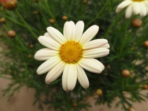 マーガレット  育種 生産 販売 松原園芸オリジナル品種 新品種 Argyranthemum frutescens