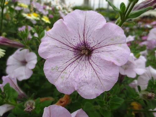 Petunia ペチュニア  育種 生産 販売 松原園芸