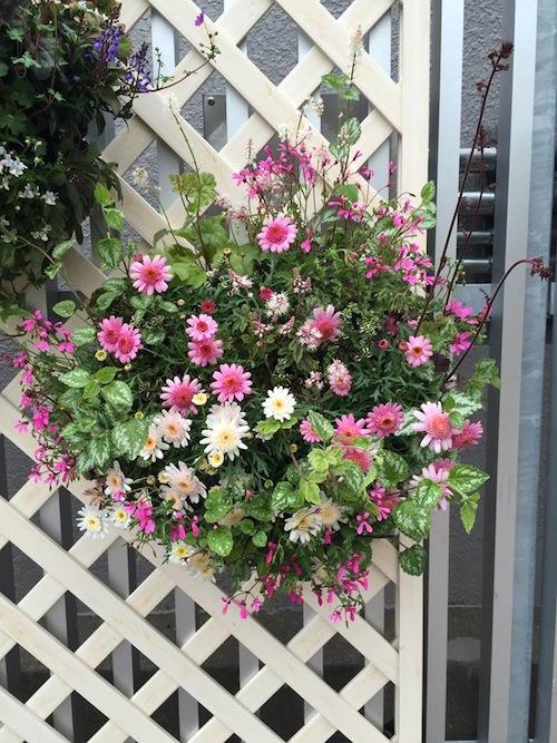 マーガレット ぽぽたん ハンギングバスケット  育種 生産 販売 松原園芸オリジナル品種 新品種 Argyranthemum frutescens