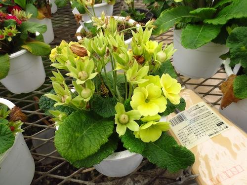 プリムラ ポリアンサ 肥後ポリアンサ 交配 育種 出荷 生産 販売 Primula polyantha サクラソウ科 松原園芸 種子