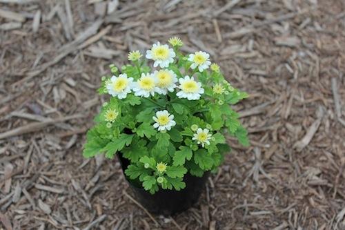 マトリカリア(キク科) Tanacetum parthenium 生産 販売 松原園芸 直売