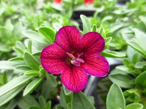 カリブラコア カリエルテ ミスティックパープル  Calibrachoa Calierte 育種 生産 販売 松原園芸 オリジナル品種 直売