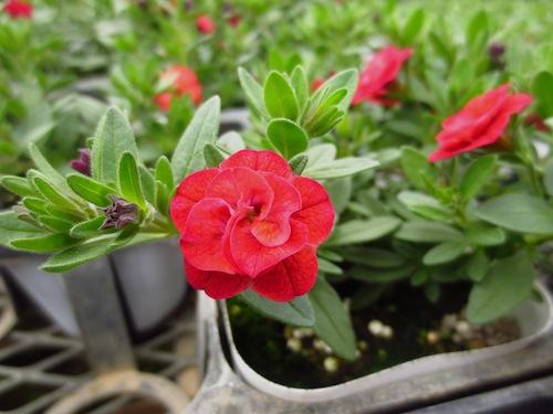 カリブラコア カリエルテ ダブルスカーレット  Calibrachoa Calierte 育種 生産 販売 松原園芸 オリジナル品種 直売