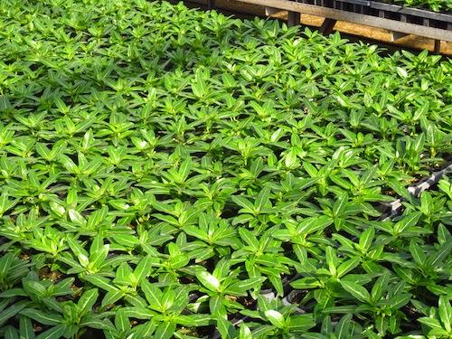 ニチニチソウ Catharanthus roseus 育種 生産 販売 松原園芸