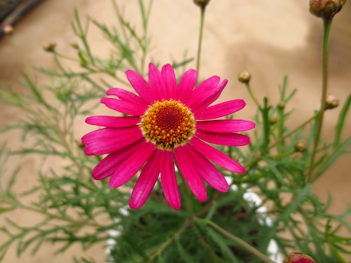 マーガレット 育種中  育種 生産 販売 松原園芸オリジナル品種 新品種 Argyranthemum frutescens