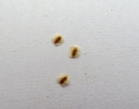 ネメシア Nemesia 宿根 パステシア  生産 販売 松原園芸オリジナル品種 育種 直売