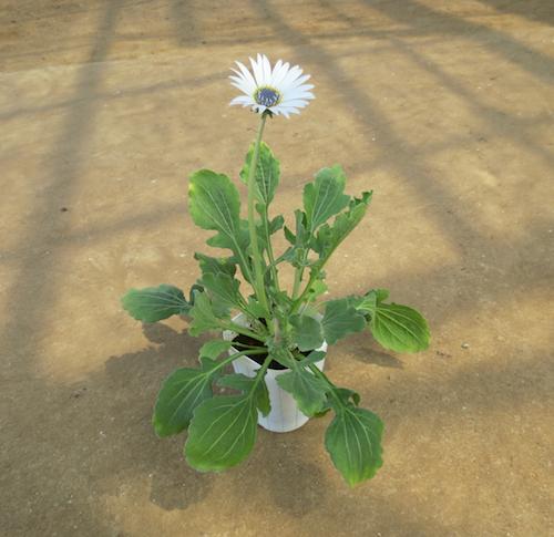Arctotis grandis アークトチス グランディス ブルーアイ・ デージー 種子  生産 販売 松原園芸