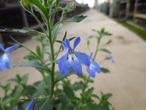 Lobelia ロベリア 栄養系ロベリア 生産 販売 松原園芸オリジナル品種 育種