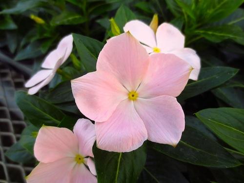 ニチニチソウ Catharanthus roseus 育種 新品種 生産 販売 松原園芸