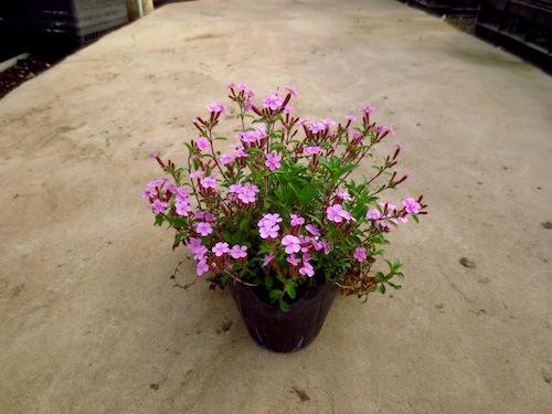 サポナリア オキモイデス(ナデシコ科 Saponaria ocymoides) 生産 育種 販売 松原園芸 直売