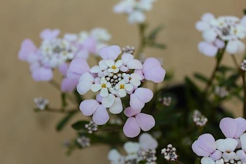 イベリス ラベンダー色 ピンク色   育種 生産 販売 松原園芸