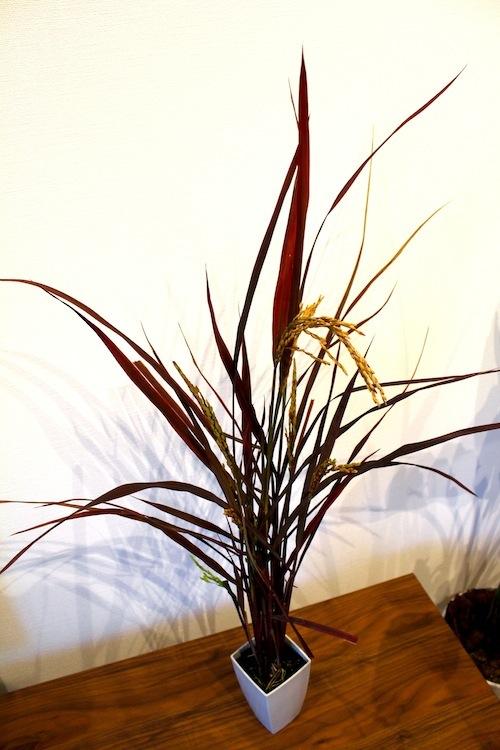 Oryza de chocolat オリザ de ショコラ  生産 販売 松原園芸 育種 新品種 銅葉イネ ジャパンフラワーセレクション ベストフラワー ニューバリュー特別賞