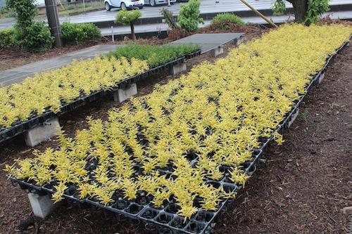 ツルハナナス Solanum jasminoides 生産 販売 松原園芸