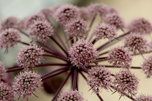 銅葉アンジェリカ セリ科Angelica属 ピンクの花  育種 生産 販売 松原園芸