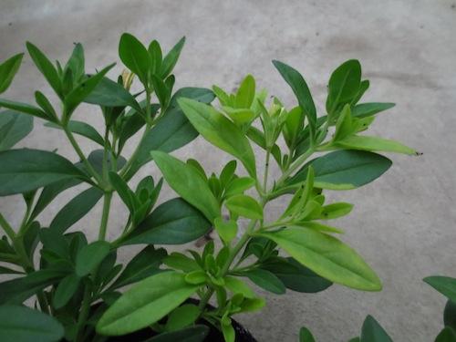 カリブラコア 黄金葉 オーレア  育種 生産 販売 松原園芸