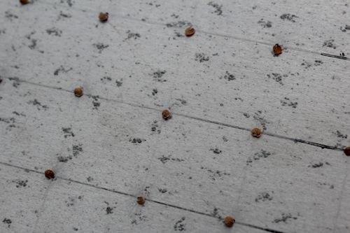 ストック ビンテージ Matthiola incana アブラナ科  生産 販売 松原園芸 直売 八重鑑別 セル苗